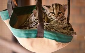 Обои кошки, котята, сумка, котёнок, оцелот