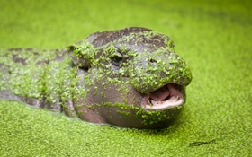 Обои природа, фон, Pygmy hippopotamus