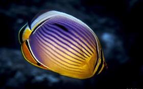 Картинка океан, под водой, ocean, under water, fish butterfly, Рыба-бабочка