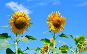 Обои поле, цветок, небо, листья, подсолнух