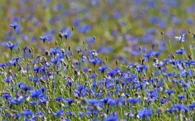Картинка лето, трава, луг, васильки