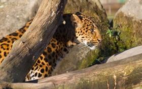 Обои кошка, солнце, леопард, профиль, бревно