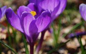 Обои весна, крокус, лепестки, цвет, фиолетовый, цветок, свет