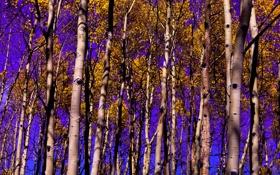 Обои осень, небо, листья, деревья, роща, осина