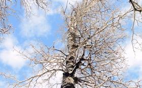 Картинка зима, дерево, берёза