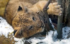 Обои снег, хищник, лев, малыш, когти, милый, львенок