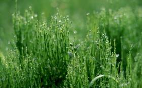 Картинка зелень, трава, вода, роса, утро, Капельки
