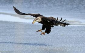 Обои полет, крылья, орлан, хищная птица