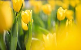 Картинка фокус, тюльпаны, желтые, солнечно