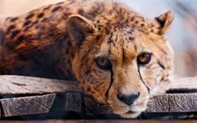 Обои взгляд, хищник, гепард, cheetah