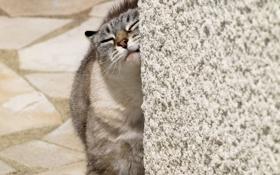 Обои кот, шерсть, стена, хвост, окрас, животное