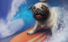 Картинка surfing, mops, доска, пес, собака