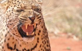 Обои морда, злость, хищник, ярость, пасть, леопард, клыки