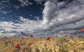 Картинка поле, лето, цветы, природа, колосья