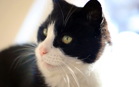 Картинка белый, кот, черный, Феликс