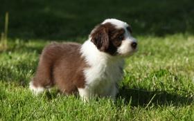 Обои пёс, трава, щенок, собака