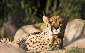 Картинка кошка, взгляд, морда, тень, гепард