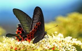 Обои бабочка, крылья, макро, цветы