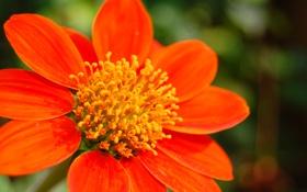 Обои цветок, природа, обои, лепестки, тычинки