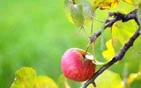 Картинка дерево, яблоко, лето