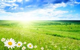 Обои зелень, лето, природа, вид, Ромашка, красивый, прекрасно
