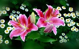 Обои лилии, ромашки, бутоны