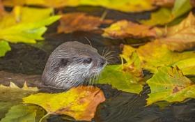 Обои осень, листья, вода, хищник, мордочка, водоём, выдра