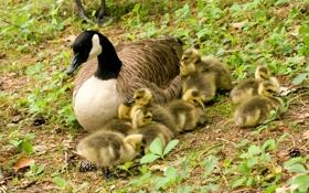 Картинка трава, птицы, семейство, канадский гусь