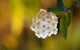 Обои макро, ветка, цветение, соцветие