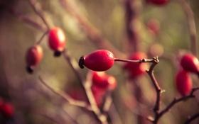 Обои октябрь, осень, ветка, шиповник, ягоды