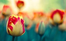 Картинка зелень, оранжевый, красный, природа, зеленый, тюльпан, весна