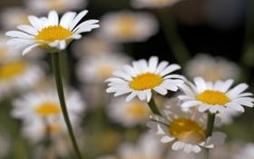 Картинка лето, макро, цветы, ромашки, растения, лепестки, белые