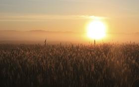 Картинка пейзаж, колосья, горизонт, небо, рассвет, поле, пшеница