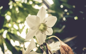 Обои белый, цветок, лепестки