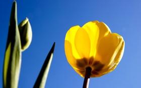 Обои небо, листья, тюльпан, лепестки, стебель