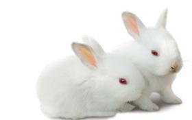 Картинка зверушки, парочка, ушки, белые кролики
