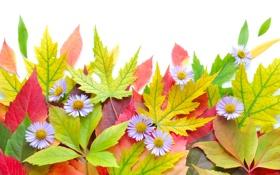 Обои листья, осень, цветы