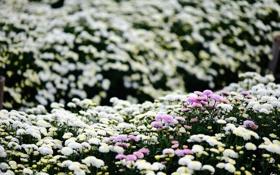 Картинка цветы, хризантемы, много, плантация