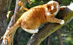 Обои кошка, кот, дерево, рыжий, ствол
