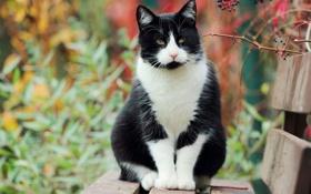 Обои осень, белая, сидит, Кошка, черная, лавочка, кусты