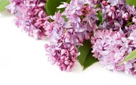 Обои цветы, весна, flowers, сирень, spring, lilac