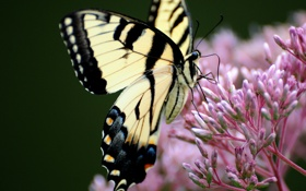 Обои природа, бабочка, махаон
