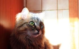 Обои глаза, кот, взгляд, свет, животное, шерсть, ушки