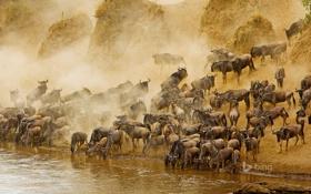 Обои река, Африка, Кения, антилопа, гну, Масаи Мара, Masai Mara National Reserve