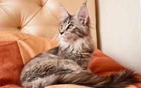 Обои котенок, мейн-кун, пушистик, черепаховая, животные, кошка
