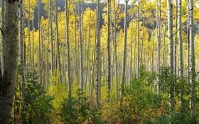 Обои осень, лес, листья, Колорадо, США, осина, Аспен