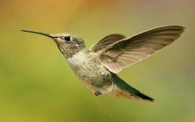 Картинка полет, природа, птица, крылья, клюв, колибри