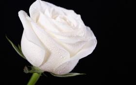 Обои цветок, бутон, черный фон, капли воды, белая роза
