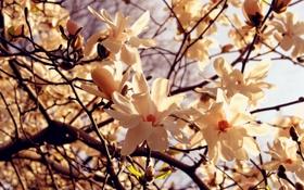 Обои макро, свет, деревья, цветы, ветви, весна, лепестки