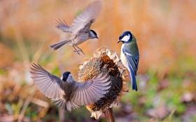 Обои крылья, воробей, птицы, синица, подсолнух